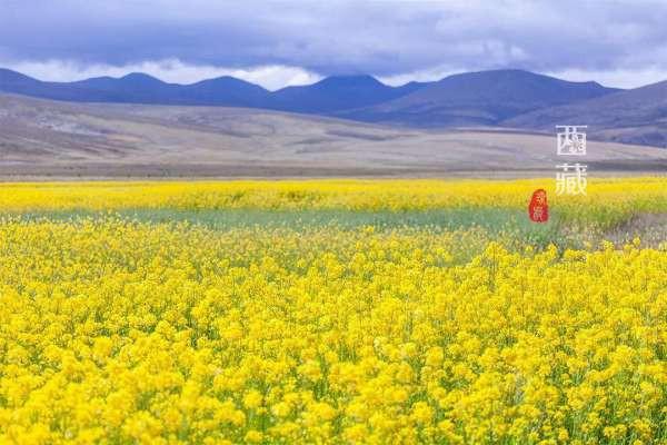 去西藏,看全国花期最晚的油菜花